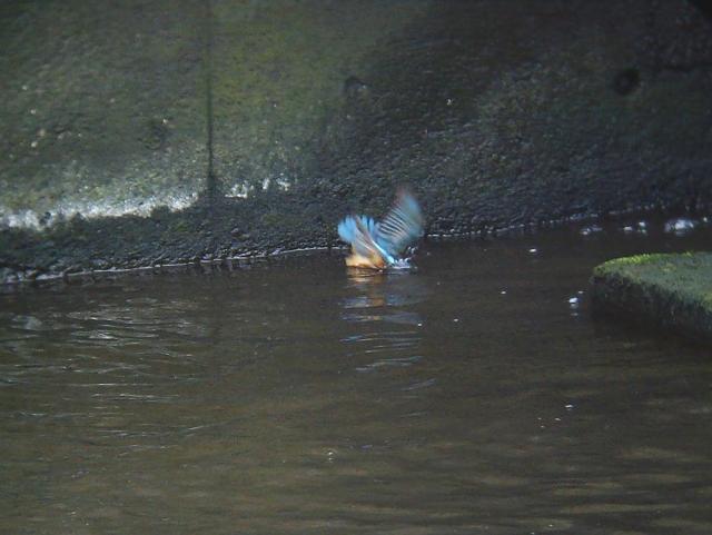 カワセミのダイビング2